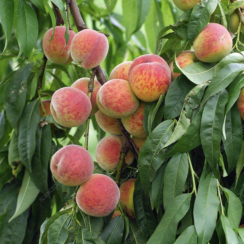 Peach (Prunus persica 'Pilot')