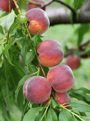 properties of prunus persica linn Properties and benefits of nectarines posted on january 7, 2016 by marius lixandru — leave a reply updated on july 18, 2018 a variety of peach, nectarines ( prunus persica var nucipersica ) are juicy, sweet and soft fruit with just as many wonderful health benefits as peaches.