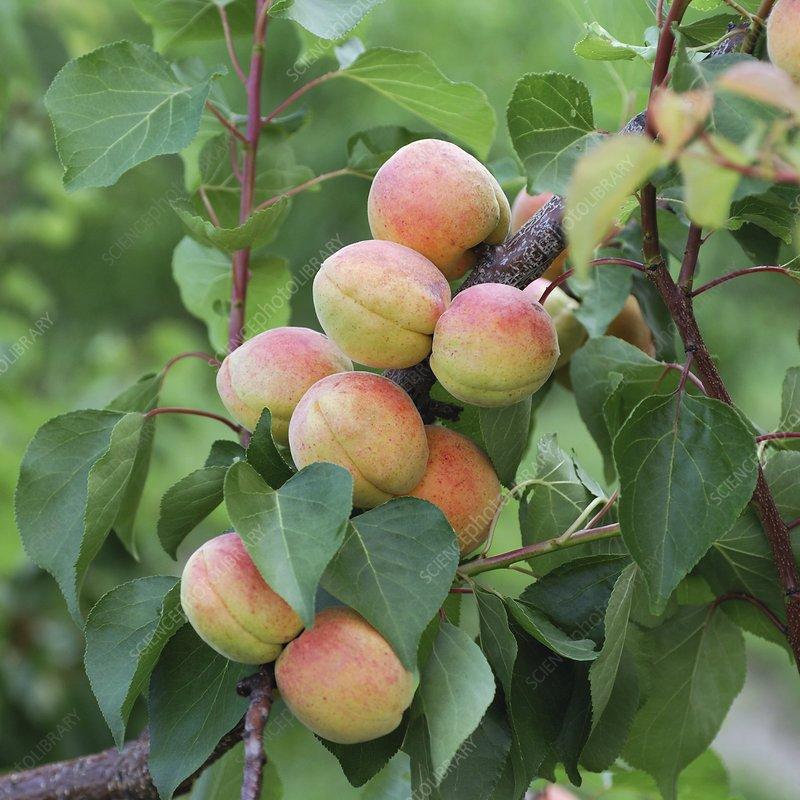 Apricot (Prunus armeniaca 'Bergeron')