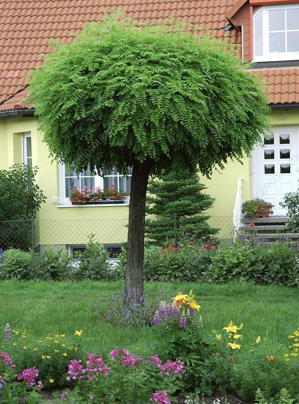 robinia pseudoacacia 39 umbraculifera 39 stock image c013. Black Bedroom Furniture Sets. Home Design Ideas