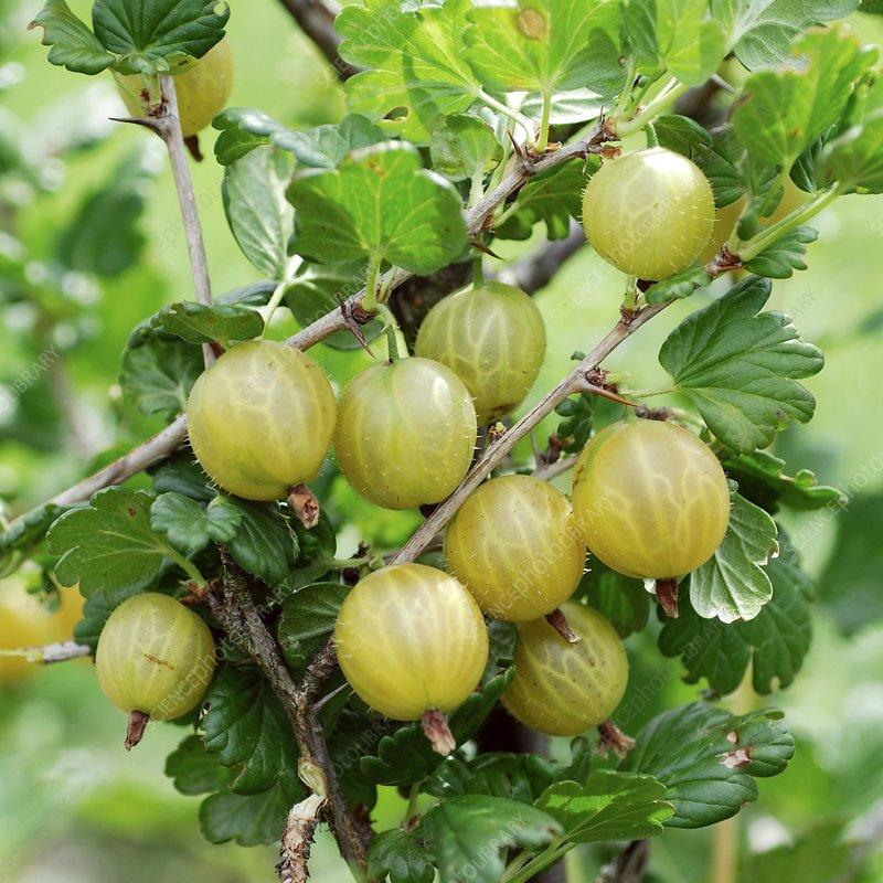 Gooseberry (Ribes uva-crispa 'Rixanta')