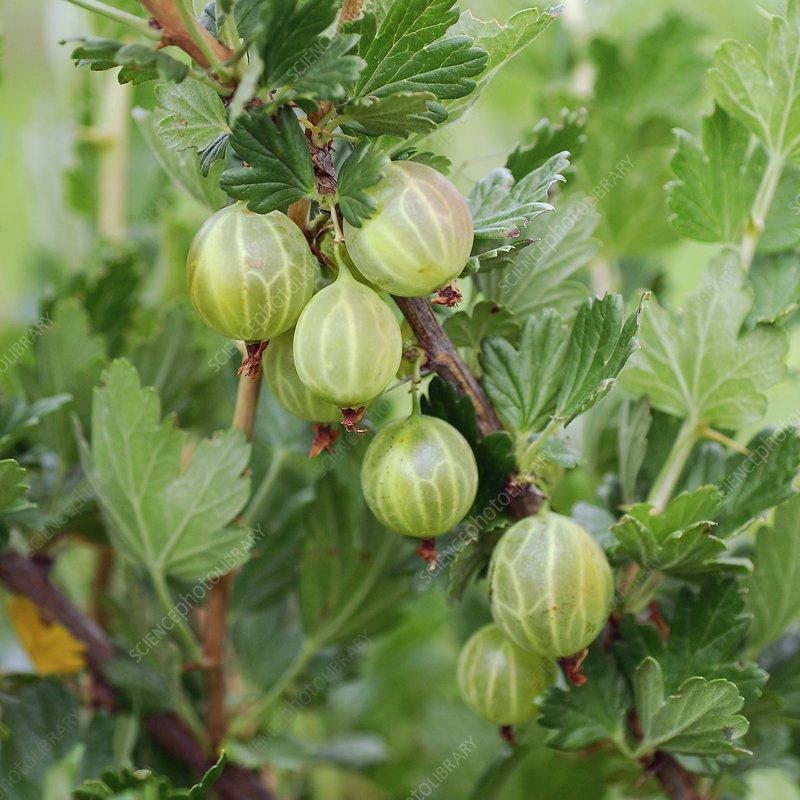 Gooseberry (Ribes uva-crispa 'Mucurines')