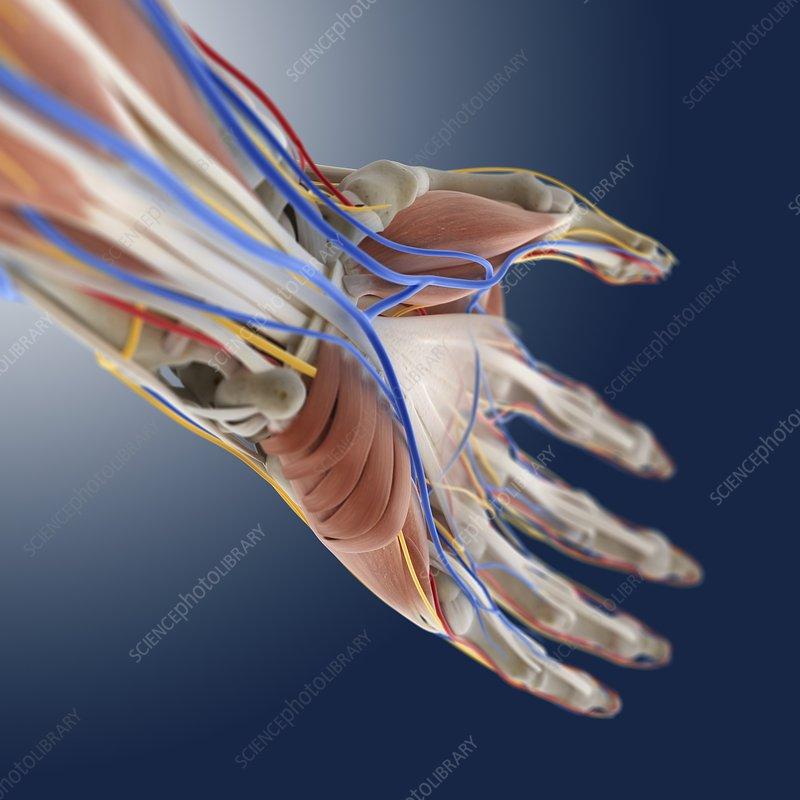 Hand anatomy, artwork