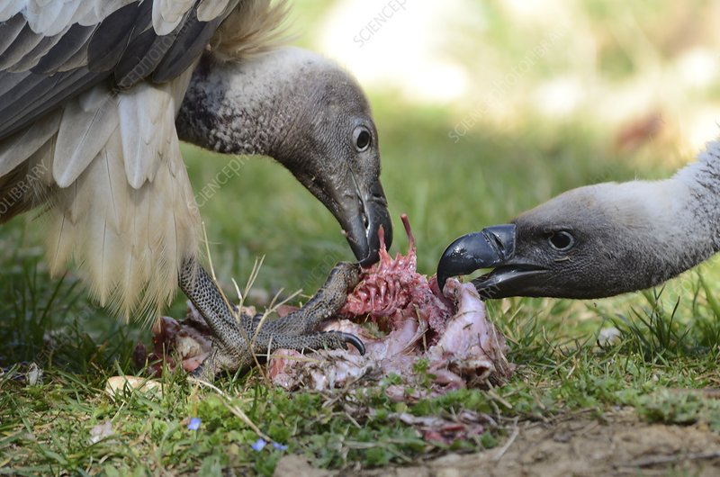 White-backed vultures feeding