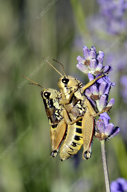 Mating common field grasshoppers