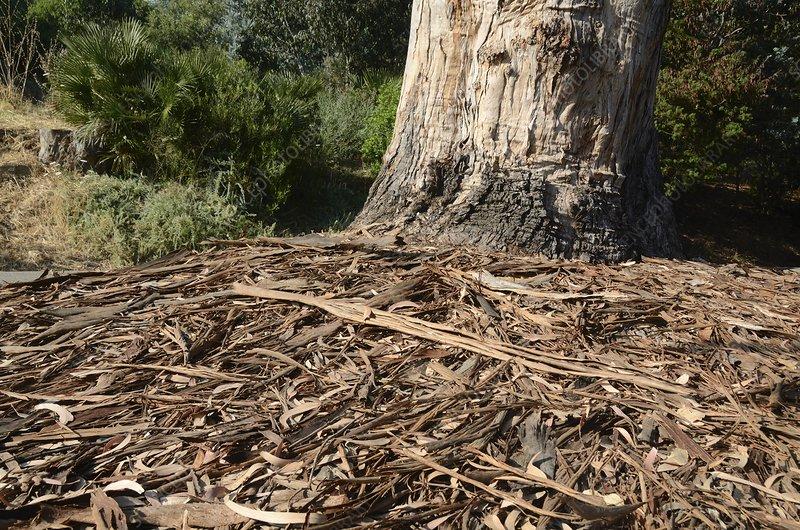Swamp mahogany (Eucalyptus robusta) bark