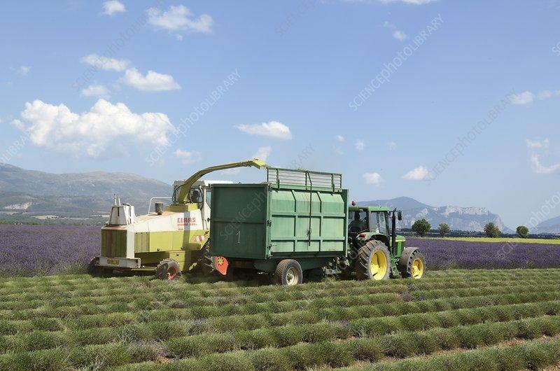 Harvesting lavender, France
