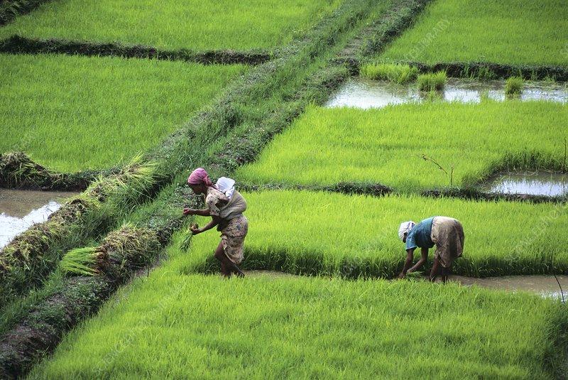 Planting rice, Madagascar
