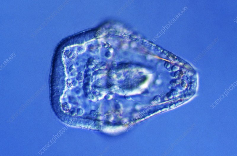Sea urchin embryo development