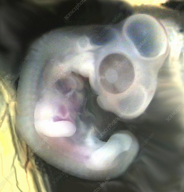 Chicken embryo, light micrograph
