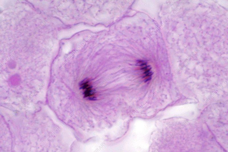 Fish embryo development, light micrograph