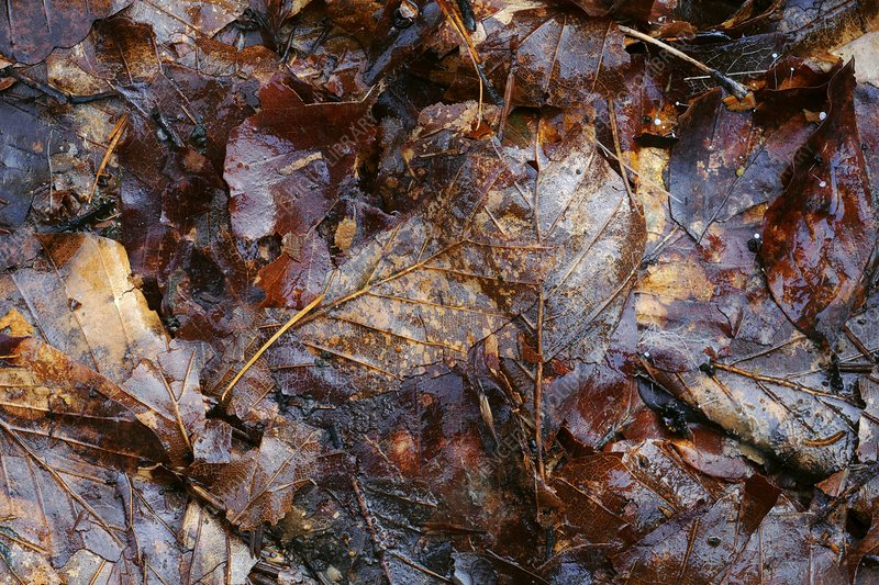 Fallen beech (Fagus sylvatica) leaves
