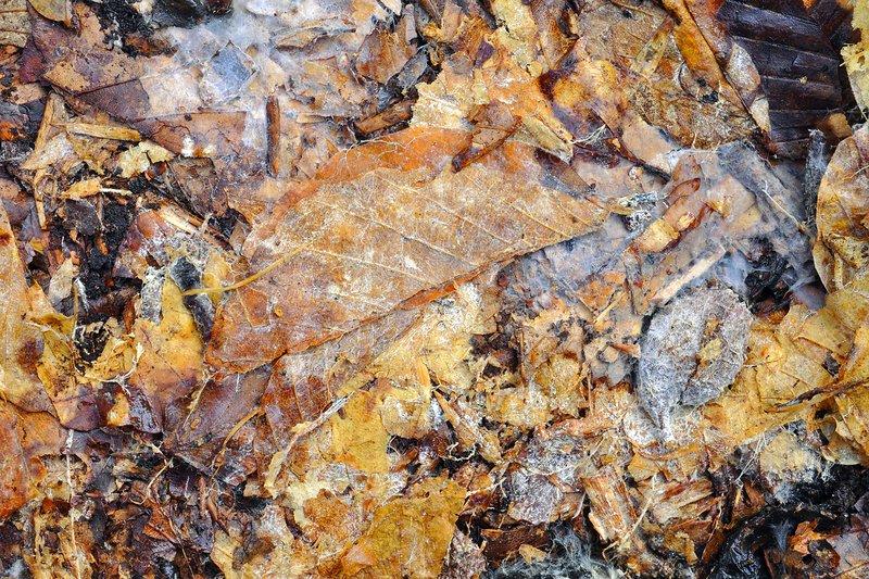 Fallen beech leaves decaying