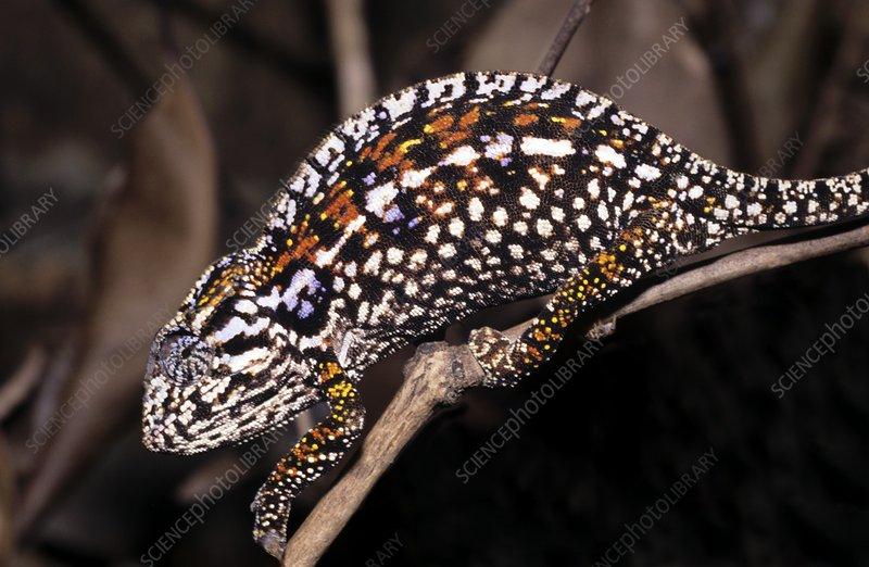 Female minor's chameleon