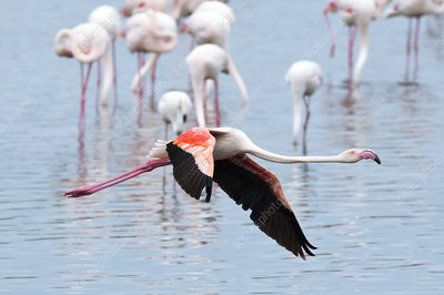 Greater flamingo in flight