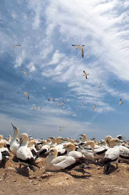 Cape gannet colony
