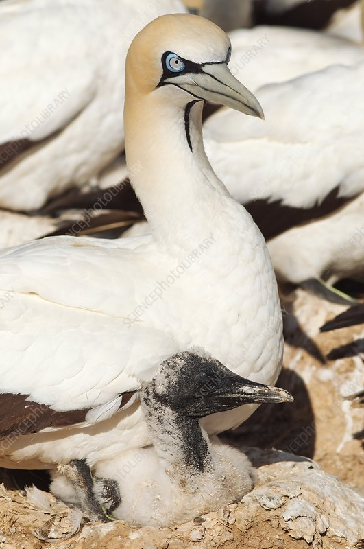 Cape gannet and chick