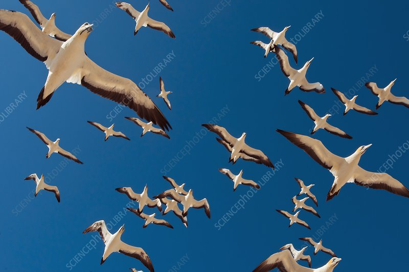Cape gannets in flight
