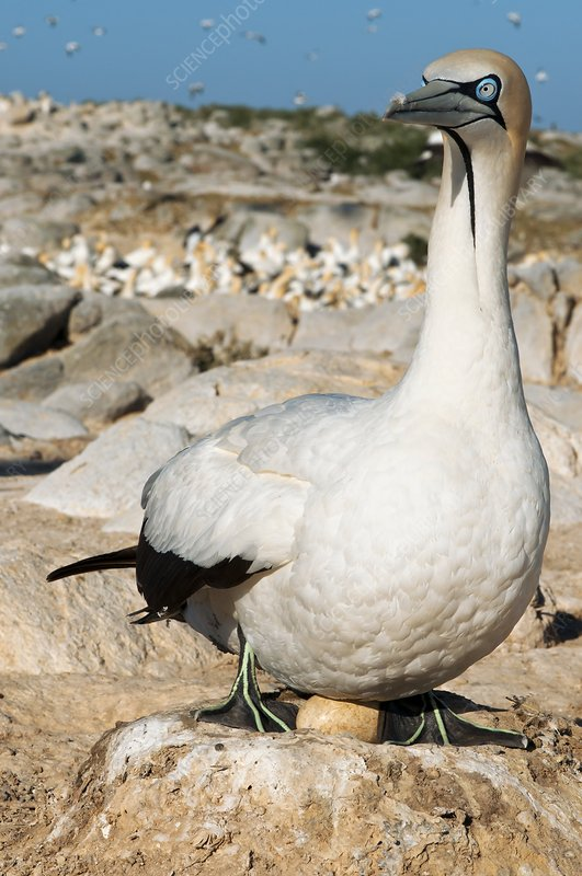 Cape gannet on its nest