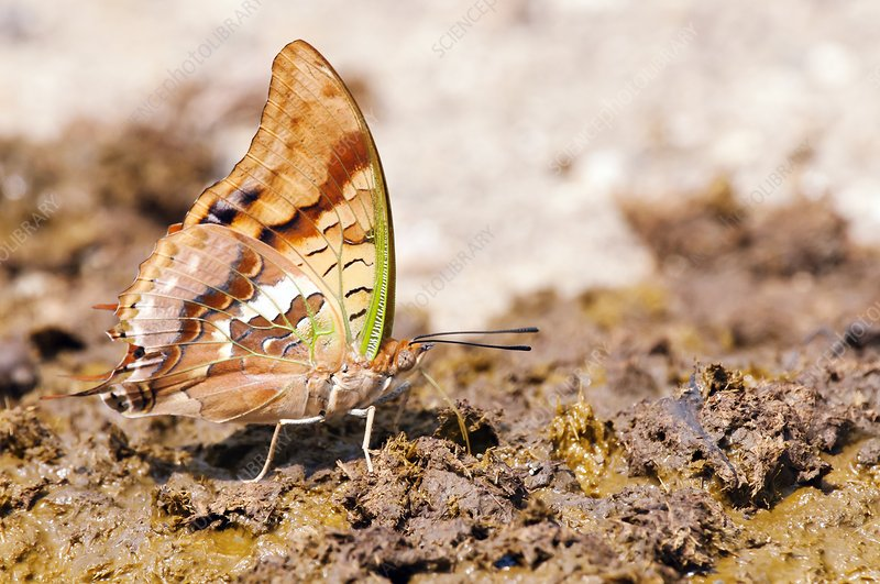 Green-veined charaxy butterfly