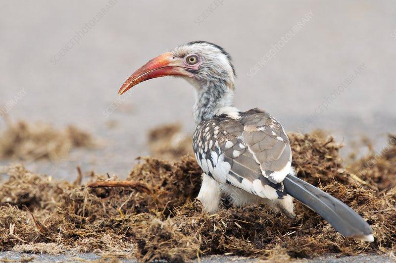Red-billed hornbill feeding
