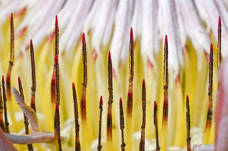 King protea (Protea cynaroides) flower