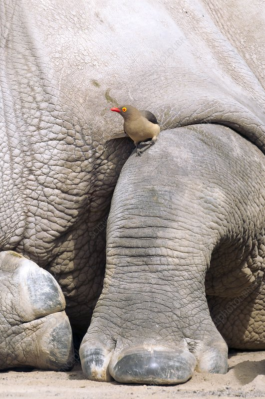 Red-billed oxpecker on white rhino