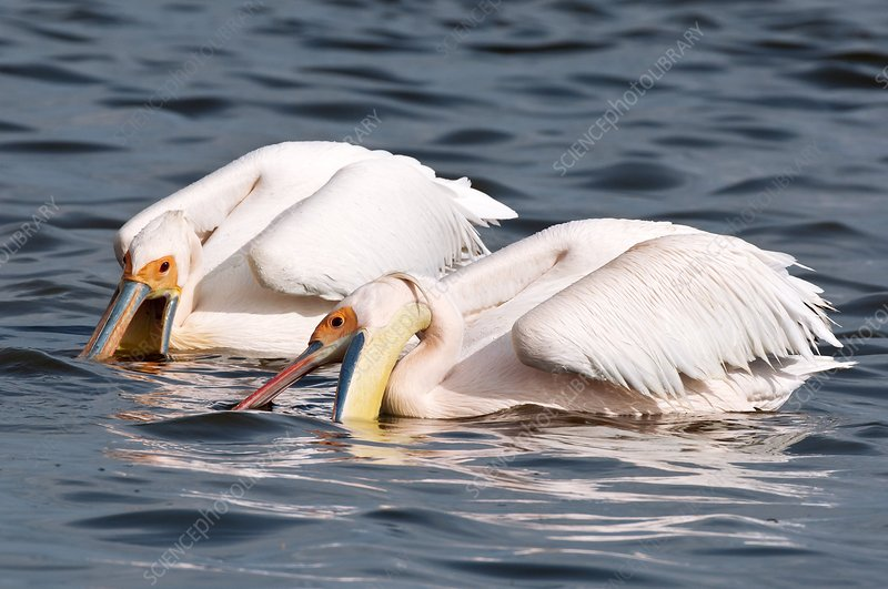 Great white pelicans feeding