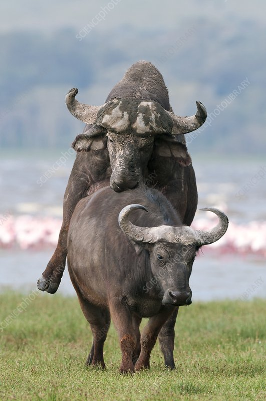 African buffalo mating