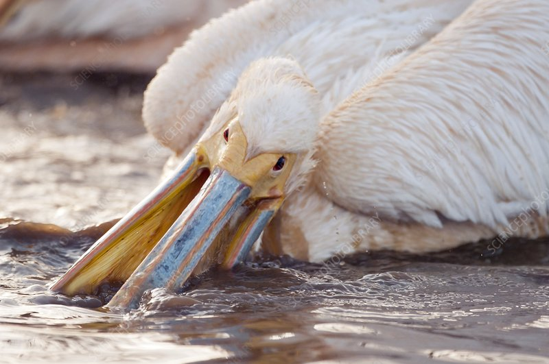 Great white pelican feeding