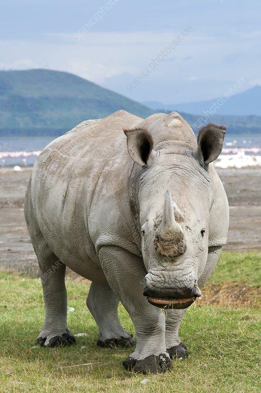 White rhinoceros grazing
