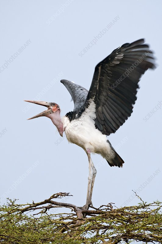 Marabou stork flapping its wings