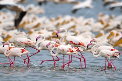 Lesser flamingos in a lake