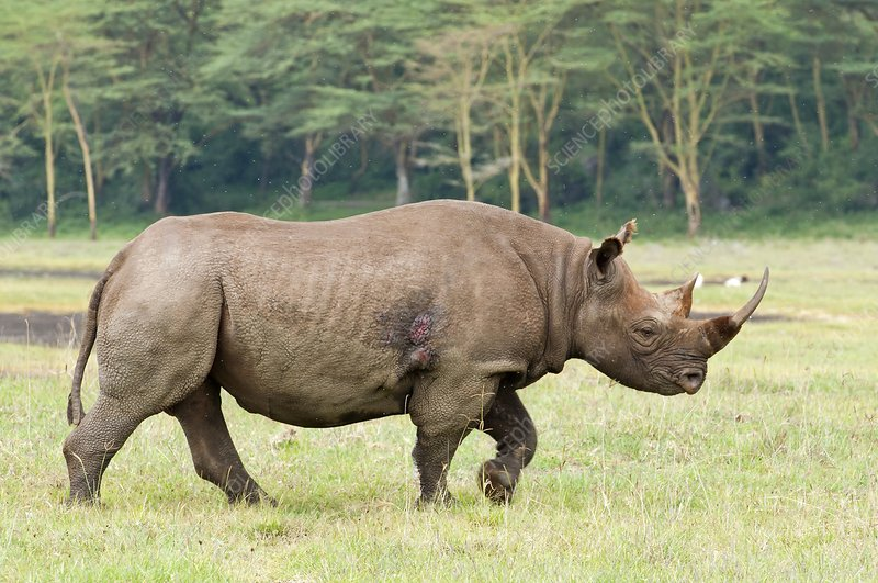 Black rhinoceros bull
