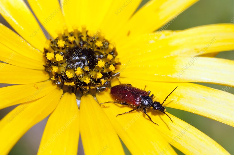 Beetle on yellow daisy flower