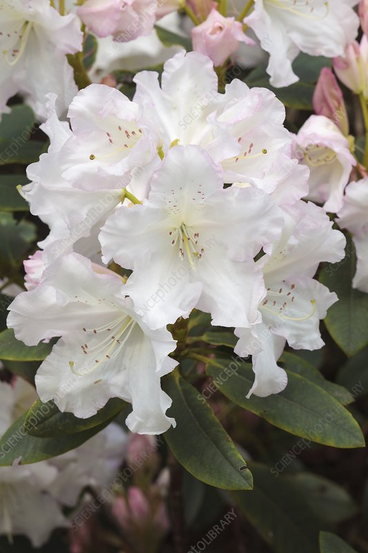 Rhododendron 'Loder's White'
