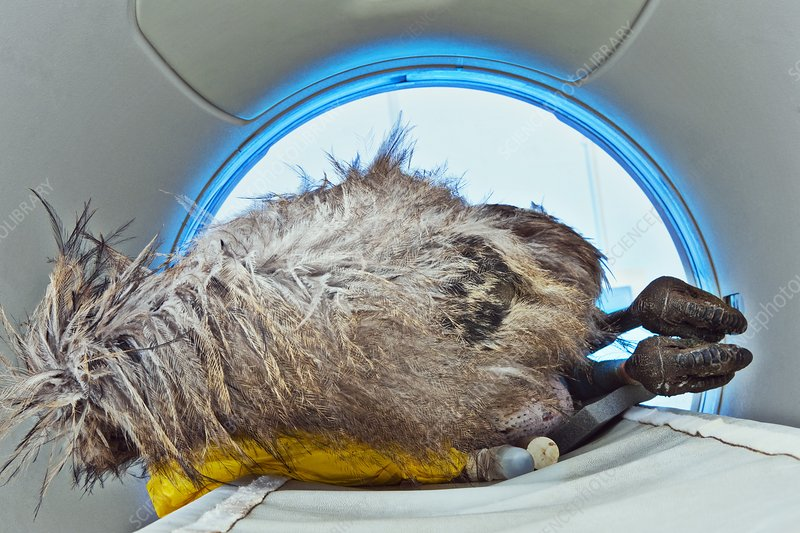 CT scanning an emu carcass