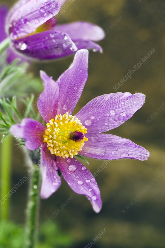 Pasque Flower (Pulsatilla zimmermanii)