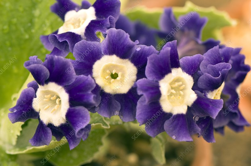 Primula auricula 'Old Irish Blue'