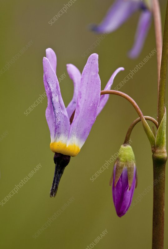 Shooting star (Dodecatheon alpinum)