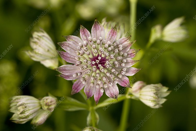 Masterwort (Astrantia major)