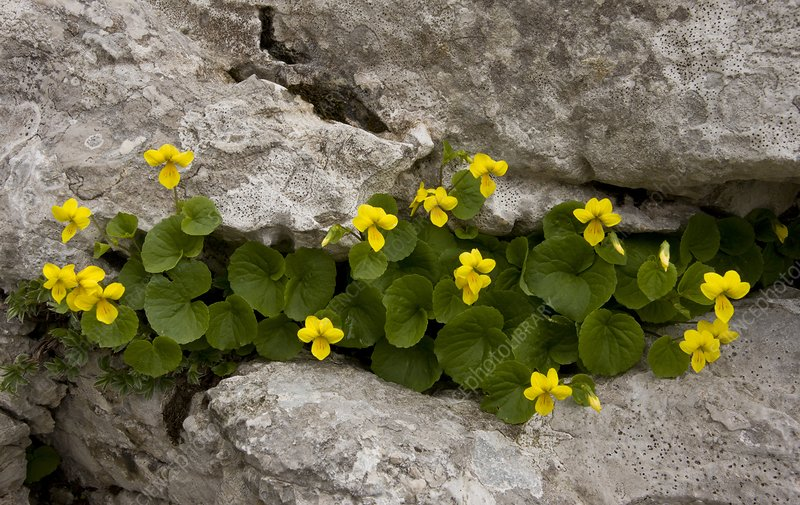 Yellow Wood-violet (Viola biflora)