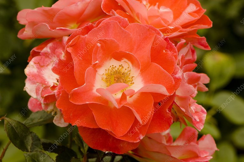 Rose (Rosa 'Pride of England')