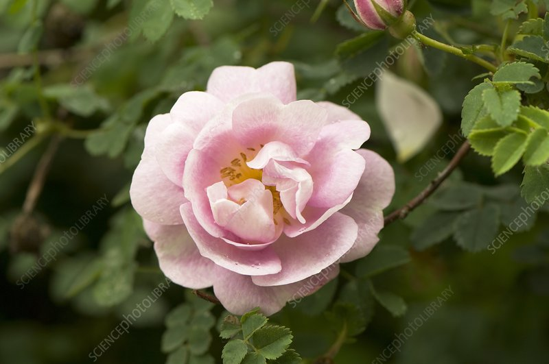 Rose (Rosa spinosissima 'Double Lilac')