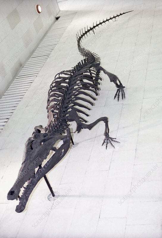 Crocodilian fossil skeleton, Moscow