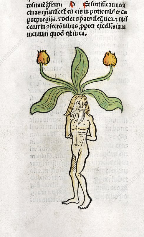 Male mandrake root, 15th century