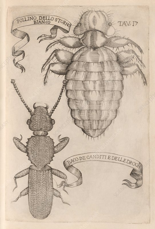 Louse and beetle, 17th century