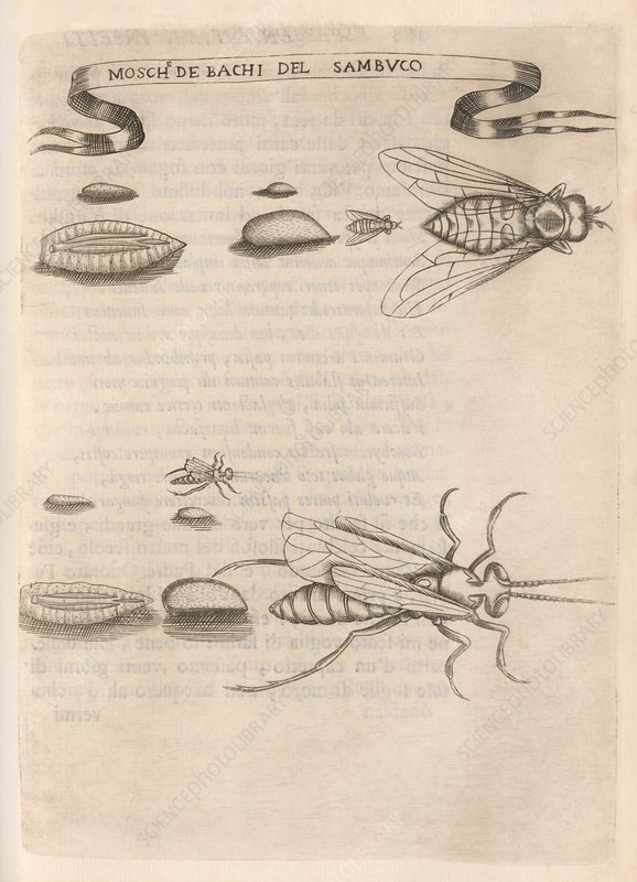Insect reproduction, 17th century
