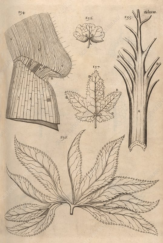 Plant parts, 17th-century microsopy
