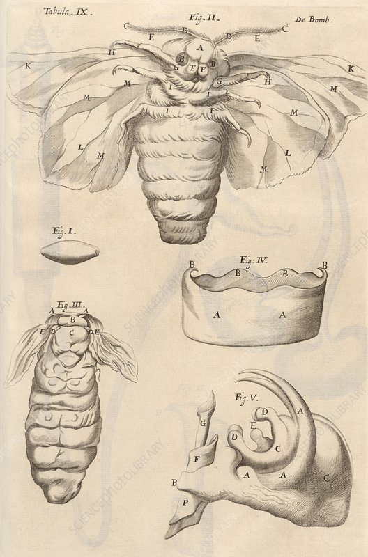 Insect anatomy, 17th-century microsopy